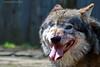 Wolf (Noodles Photo) Tags: iberianwolf iberischerwolf mammalia carnivora canidae canis canislupus canislupussignatus kerkrade zuidlimburg netherlands niederlande nl gaiazoo canoneos7dmarkii ef100400mmf4556lisusm wolf