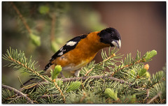 Black-headed Grosbeak (ctofcsco) Tags: 14x 14xii 11000 560mm 7d 7dclassic 7dmark1 7dmarki canon colorado coloradosprings didnotfire digital ef ef400mmf28liiusm14x eos eos7d esplora evaluative bokeh explore geo:lat=3893083779 geo:lon=10489145279 geotagged gleneyrie nature northamerica telephoto wildlife explored extender f40 flashoff iso1250 photo pic pretty renown shutterspeedpriorityae supertelephoto teleconverter unitedstates usa