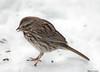 I Spy (John Neziol) Tags: jrneziolphotography portrait animal animalphotography wildlife wings feathers birdphotography bird nikon songsparrow snow bright brantford beautiful outdoor nikondslr nikoncamera nikond80 naturallight nature closeup sparrow