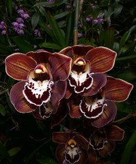 Cymbidium Lupe's Coffee hybrid orchid (nolehace) Tags: cymbidium lupes coffee hybrid orchid 318 flower bloom plant winter nolehace sanfrancisco fz1000 garden yard