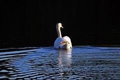swan J78A1257 (M0JRA) Tags: birds swans flight flying wildlife rats walks gardens parks fields trees lakes ponds ducks rspb