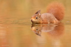 Back to squirrel one (Manon van der Burg) Tags: kanikurennaarkijken sigma100400mm canon80d happydays schattig cute takingabath reflection drunen rodant knaagdier inthewater squirrel eekhoorn