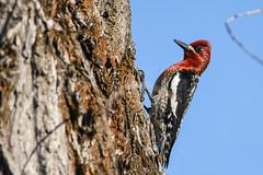 Red-breasted Sapsucker (Minder Cheng) Tags: sierravalley redbreastedsapsucker sierraville california unitedstates us