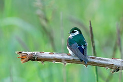 Violet-green Swallow (Waspane) Tags: violetgreenswallow passireformes birds sigma sony