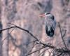 Great Blue Heron (droy0521) Tags: shorebird spring sunrise tree bird stick animal greatblueheron barrlake