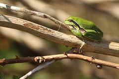 Boomkikker - Hyla arborea - European Tree Frog (merijnloeve) Tags: boomkikker hyla arborea european tree frog de hertenkamp berkheide meijendel kikker boom frogs