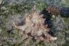 Ramose murex (Chicoreus ramosus) (wildsingapore) Tags: cyrene chicoreus ramosus muricidae mollusca gastropoda island shores singapore marine coastal intertidal shore seashore marinelife nature wildlife underwater wildsingapore