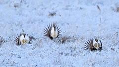 Three Tenors in the Meadow (barneskent) Tags: sage grouse lek