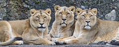 The three lionesses (Tambako the Jaguar) Tags: lion big wild cat asiatic asian indian female lioness three together posing portrait lying resting stone rock züich zoo switzerland nikon d5