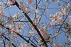 Cherry blossoms (theq629) Tags: plant cherry blossom flower 櫻花 舞鶴公園 maizuru park japan kyushu fukuoka 福岡