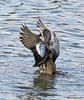 040818111246asmweb (ecwillet) Tags: bluewingedteal teal duck nikon nikond500 nikon200500f56 wildwoodparkharrisburgpa ecwillet ericwillet