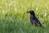 Blackbird (iantaylor19) Tags: blackbird spring british birds warwickshire wildlife canon 80d sigma 150600