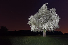 _DSC1840Birnbaum (christian.joehl) Tags: nachtaufnahme langzeitbelichtung blüten birnbaum frühling schweiz christianjoehl