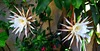 Dama de noche. Epiphyllum oxypetalum. (jagar41_ Juan Antonio) Tags: flores flor flora damadenoche epiphyllumoxypetalum flordeunanoche