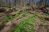 Spring in the Pålsjö forest (frankmh) Tags: forest plant flower woodanemone trunk pålsjö helsingborg skåne sweden landscape