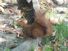 Eichhörnchen auf dem Neuen St. Michael-Friedhof, Berlin , NGID908809932 (naturgucker.de) Tags: ngid908809932 naturguckerde eichhörnchensciurusvulgaris neuerstmichaelfriedhof berlin cwolfgangkatz