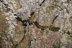 Sakura,Kyotogyoen,Kyoto (yopparainokobito) Tags: sakura cherryblossom kyotogyoen kyotogosho kyoto さくら 桜 京都 京都御苑 京都御所 canon eos eosm3 m3