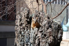 Squirrels On Lovely Early Spring Day in Ann Arbor at the University of Michigan (March 26th, 2018) (cseeman) Tags: gobluesquirrels squirrels annarbor michigan animal campus universityofmichigan umsquirrels03262018 spring eating peanut marchumsquirrel sunny art publicart angryneptunesalaciaandstrider statue bronze micheleokadoner micheleokadonerstatue squirrelsandart squirrelsandpublicart livingart foxsquirrels easternfoxsquirrels michiganfoxsquirrels universityofmichiganfoxsquirrels