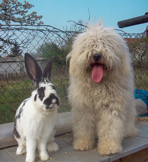 Zsömle the puli and the bunny