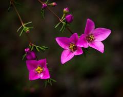Boronia pulchella-  Pink boronia (loveexploring) Tags: australia australiannativeplant boronia boroniapulchella pinkboronia southwestwesternaustralia stirlingrange westernaustralia flower macro plant wildflower