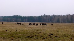 Bisonti europeo