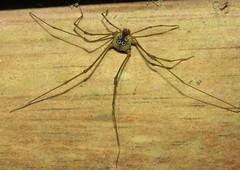 harvestman (Birdernaturalist) Tags: arachnida cosmetidae costarica opiliones richhoyer