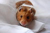 McGibbles (hollyzade) Tags: nikond40 nikon hamster hamsters syrian domesticated pet rodent small cute eyes action moving