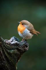 Robin (_John Hikins) Tags: robin bird birds wildlife woods bokeh nikon nikkor nature animal sigma devon dartmoor d500 branch 150600mm 150600c 150600 yarner