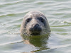 Gewone zeehond / Common seal (MarkBosNL) Tags: seal zeehond zee sea texel nederland netherlands bosvogelt wild wildlife wildlifephotography water natuur nature natuurfotografie naturephotography animal dier zoogdier mammal