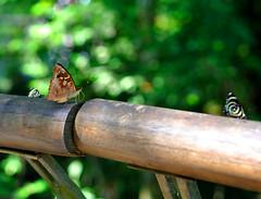 Iguazu Falls (makingacross) Tags: nikon d3000 iguazu falls iguacu argentina butterfly butterflies nature
