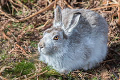 Mountain Hare (Tim Melling) Tags: lepus timidus mountain hare winter pelage peak district moors south yorkshire timmelling