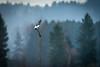Lapwing / Kiebitz beim Balzflug (Vanellus vanellus) (NEX69) Tags: fe100400mmf4556gmoss kantonluzern sel14tc schweiz sonyalpha9 switzerland a9 kiebitz wauwilermoos lapwing peewit