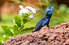 Lizard Pose (tomi.a) Tags: uganda jinja africa lizard agama pose posing flower nature sunlight daylight animal blue rock wildlife flickr travel d850