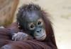 orangutan Sabbar Ouwehand BB2A5928 (j.a.kok) Tags: animal asia azie ouwehands aap ape orangutan orangoetan orang sabbar mammal monkey mensaap zoogdier dier