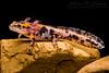 Banded Fire Salamander (Salamandra s. terrestris) (John P Clare) Tags: bandedfiresalamander firesalamander red salamandrasalamandraterrestris sollinghills stripedfiresalamander amphibian aquatic black gills larva metamorphosis newt salamandridae spots tadpole yellow