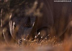 white_rhino_Ceratotherium_simum_wild_South_Africa_veld (www.jasongilchrist.co.uk) Tags: rhino rhinoceros whiterhinoceros whiterhino ceratotheriumsimum conservation wildlife northerncape poaching