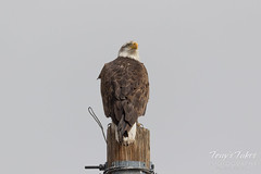 Young Bald Eagle poses