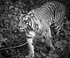 Sharmili.. queen of Bijrani. (Bodhisotto) Tags: tigress tigers wilderness wildlife wild jimcorbett bijrani photography wildlifephotography canon1100d junglesafari inspired