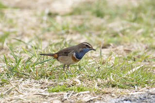 Blauwborst-Bluethroat (Luscinia svecica)