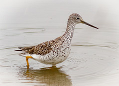 Back for the Summer (tresed47) Tags: 2018 201804apr 20180409bombayhookbirds april birds bombayhook canon7d content delaware folder greateryellowlegs peterscamera petersphotos places season shorebirds spring takenby us yellowlegs ngc npc