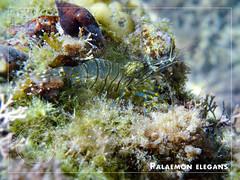Palaemon elegans, with eggs (Terzacentro) Tags: chicco caroli francersco genova zena genoa lido albaro corso italia mar ligure mediterraneo sea mediterranean paleamon elegans gamberetto
