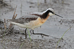 Wilson's Phalarope (Alan Gutsell) Tags: wilsonsphalarope wilsons phalarope wader waterfowl birds bird alan anahaucnwr nationalpark migration wildlife nature photo
