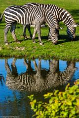 Grant's Zebras (stephaniemasson) Tags: animal reflet zoodegranby zèbre zoo zebra reflection water grant plains mammifère mammal herbivore grass eating nature reserve nationalpark safari jungle savane savannah outdoors wildlife africa afrique equine two striped