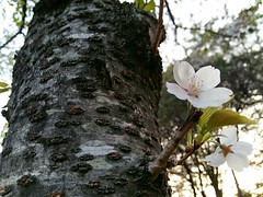Solo (Cassan Weish) Tags: cherry blossom sun shine tree bee insect invertebrate branch nature flower flowers spring april season korea south