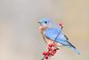 Bluebird on berries (adbecks) Tags: nikon d500 200500 bluebird wildlife berries bokeh birds soft light high iso