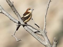 Woodchat Shrike (Wild Chroma) Tags: lanius senator laniussenator woodchat shrike wadi dana wadidana jordan birds passerines