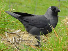 Jackdaw (Corvus monedula) (Nick Dobbs) Tags: jackdaw corvus monedula corvid corvidae bird dorset