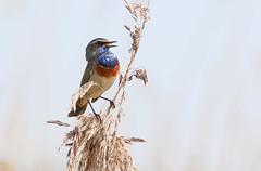 Why, I Spotted A Bluethroat! (Ger Bosma) Tags: 2mg171547filtered blauwborst witsterblauwborst lusciniasvecicacyanecula lusciniasvecica whitespottedbluethroat bluethroat blaukehlchen gorgebleueàmiroir gorgebleueàmiroirblanc pechiazul pettazzurro singing male song spring renewed pro