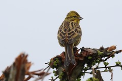 Yellow hammer (Emberiza citrinella) (GrahamParryWildlife) Tags: mk2 7d sport 150600 sigma yellow grahamparrywildlife small uk kent animal outdoor viewing photo flickr add new sunlight depth field plumage bird close up male brown tiny loud songbird song yellowhammer landscape tree