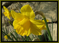 Daffodil Days (M E For Bees (Was Margaret Edge The Bee Girl)) Tags: daffodils yellow flowers flowerscolors plants garden stone wall spring petals sun leaves shadows trumpet canon blooms